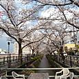 用水路の両脇に桜