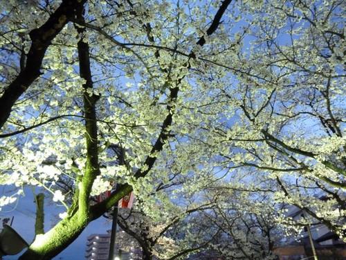旅館前の用水路の夜桜